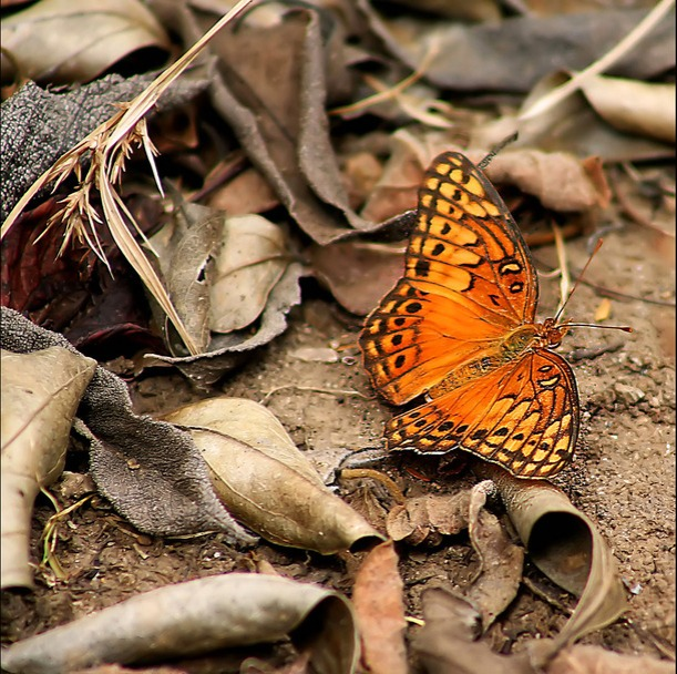 Favim.com-butterfly-nature-canon-orange-472775
